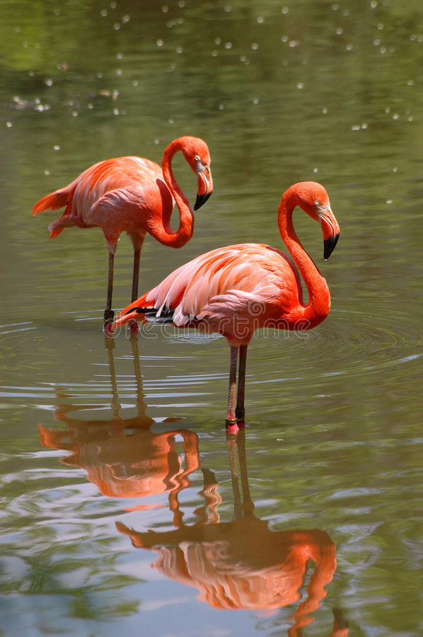 Pink flamingo birds. In the river
