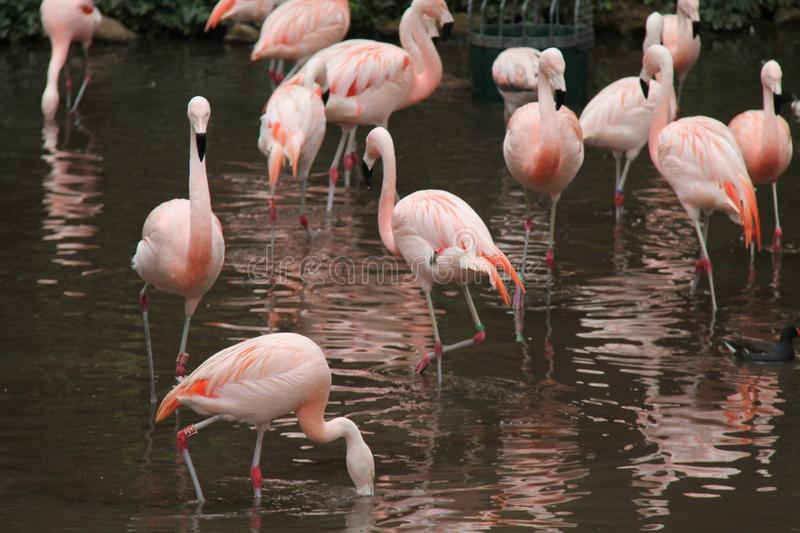 Pink Flamingo Birds. A Collection of Pink Flamingo Birds Standing in Water stock photography