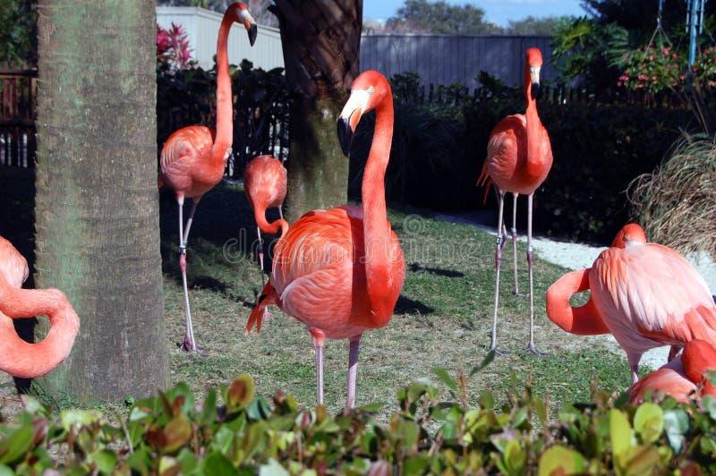 Pink Flamingo Birds. A group of pink flamingo birds at a park royalty free stock photography