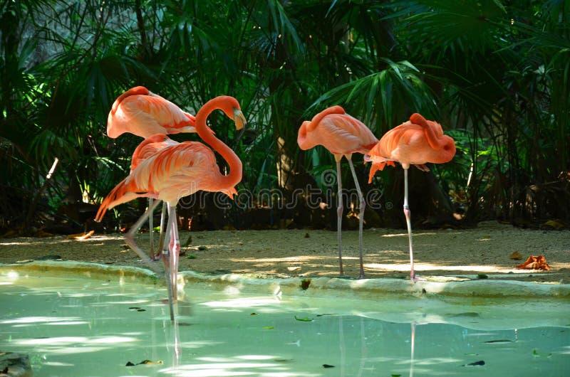 Pink flamingo birds stock photo