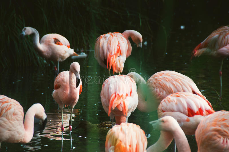 Pink flamingo birds standing in water royalty free stock photos