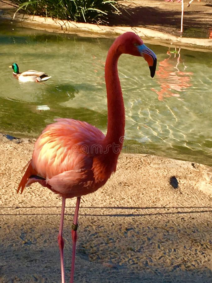 Pink Flamingo and Duck. A pretty pink flamingo stands in the sand while a duck swims idly by in a stream royalty free stock photography