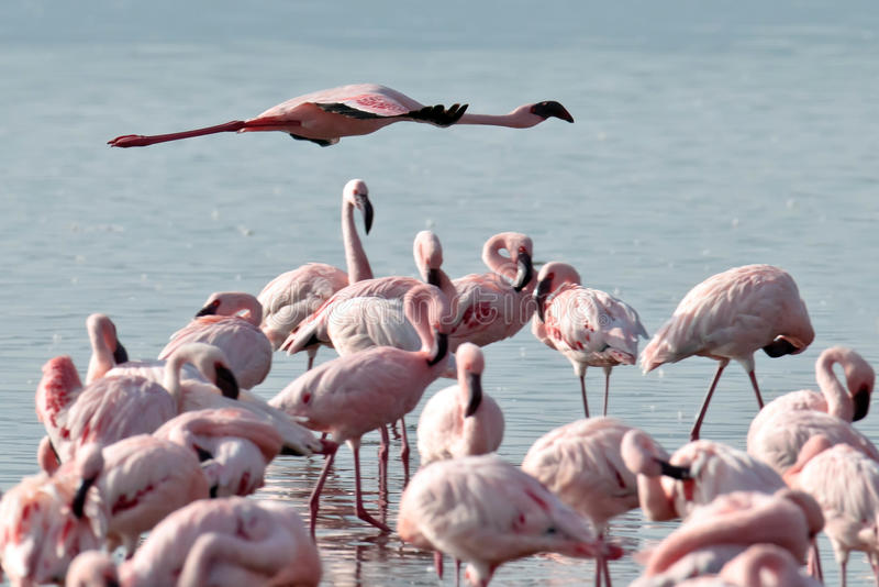 Pink Flamingo Flies Over The Water Stock Photography