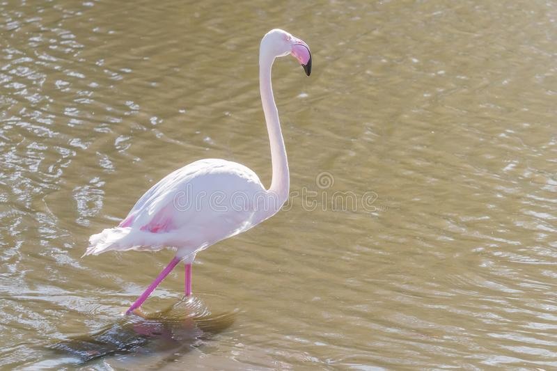 Pink Flamingo, Greater flamingo in their natural environment Phoenicopterus roseus. Wildlife stock images