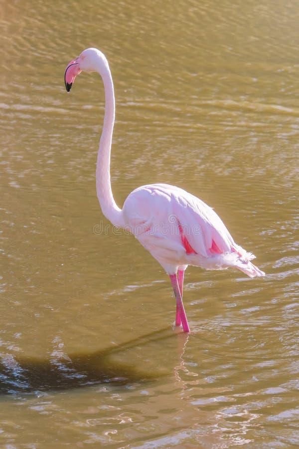 Pink Flamingo, Greater flamingo in their natural environment Phoenicopterus roseus. Wildlife royalty free stock photos
