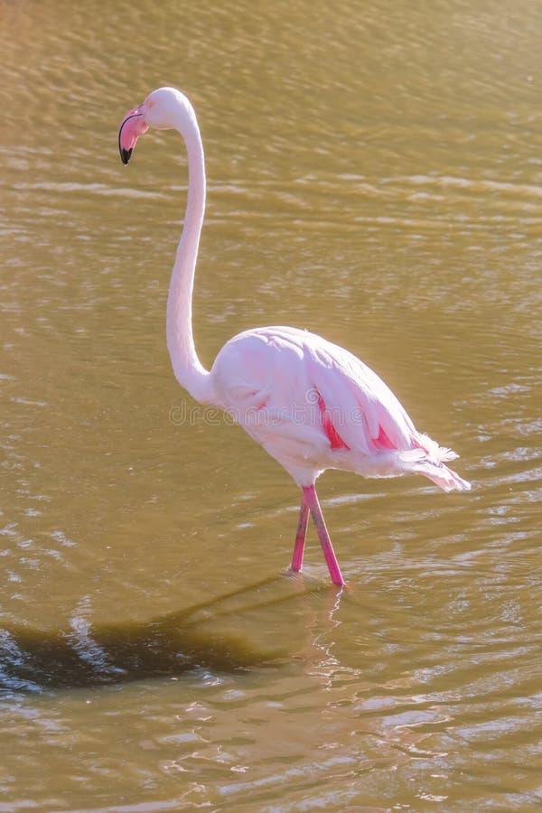 Pink Flamingo, Greater flamingo in their natural environment Phoenicopterus roseus. Wildlife royalty free stock image