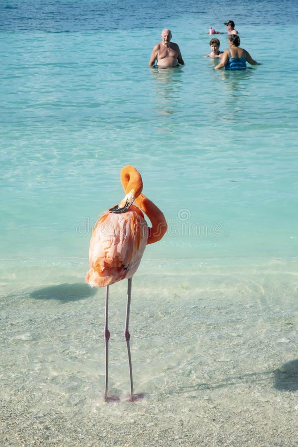 A Pink Flamingo Grooming Himself on the Beach While Spectators Watching from the Ocean royalty free stock image