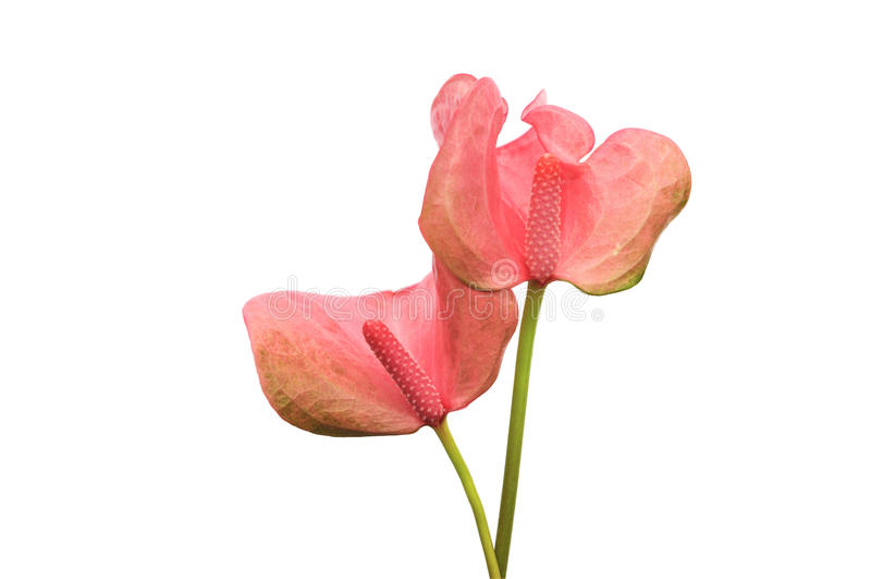 Pink Flamingo Lily stock photo