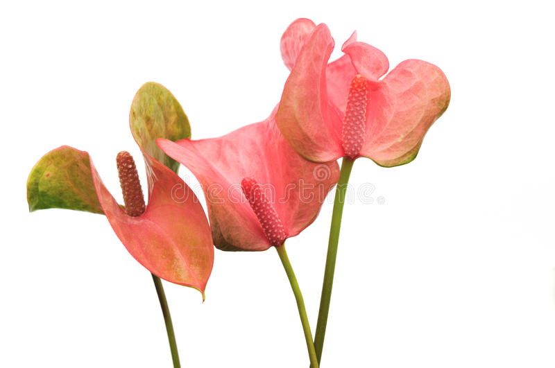 Pink Flamingo Lily stock images