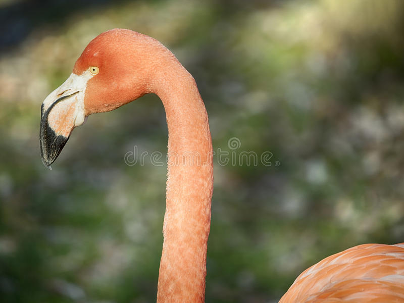 Pink flamingo portrait. Phoenicopterus ruber, Caribbean Flamingo or Red Flamingo royalty free stock image