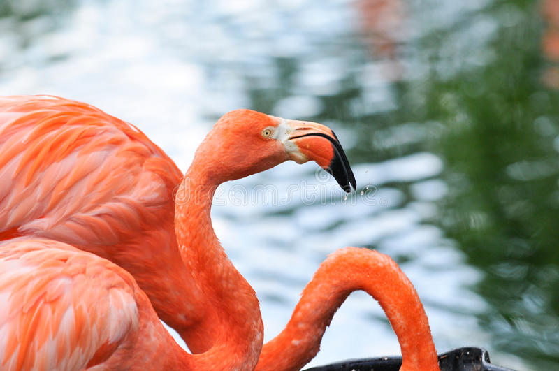Pink flamingo. Profile view of a flamingo with water droplets on it's beak royalty free stock images