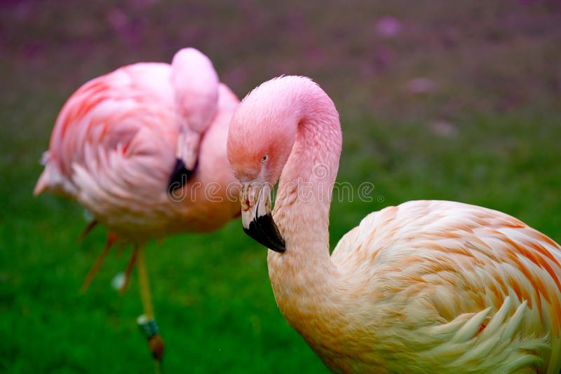 The pink flamingo is the only representative of the order whose natural range also extends to Europe royalty free stock photos