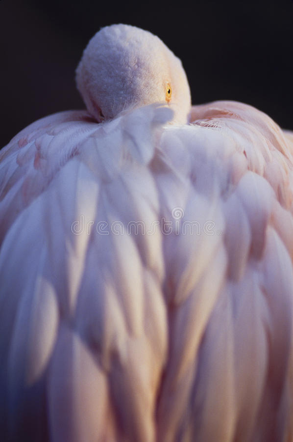 Pink Flamingo Resting. Pink Flamingo with head tucked under wing resting royalty free stock image