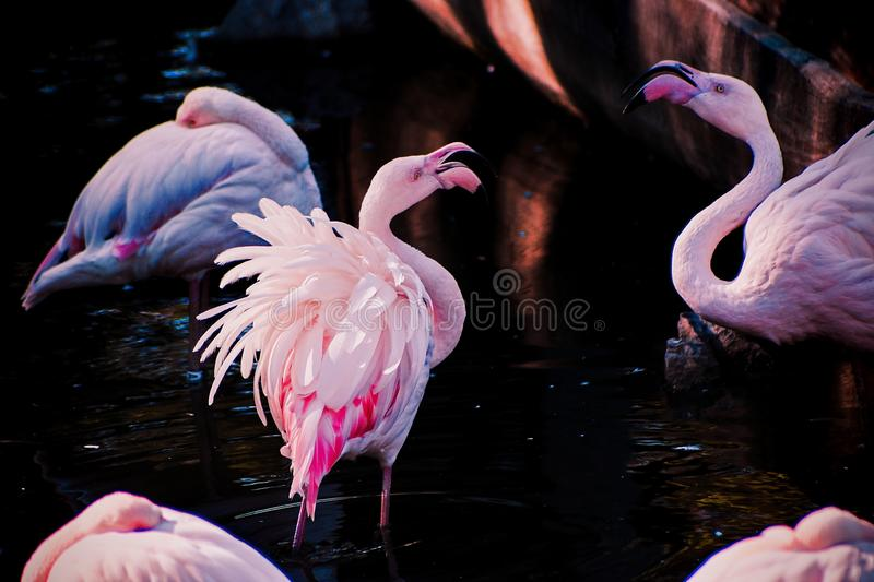 Pink flamingo in a river stock images