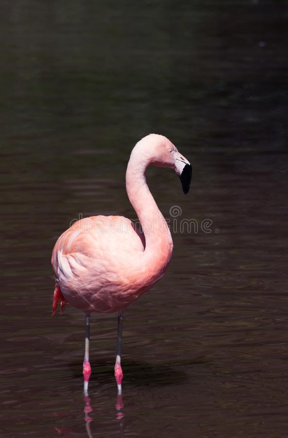 Pink Flamingo standing in a lake. A greater pink flamingo stands in a lake. Vertical image with space for text or headline stock image
