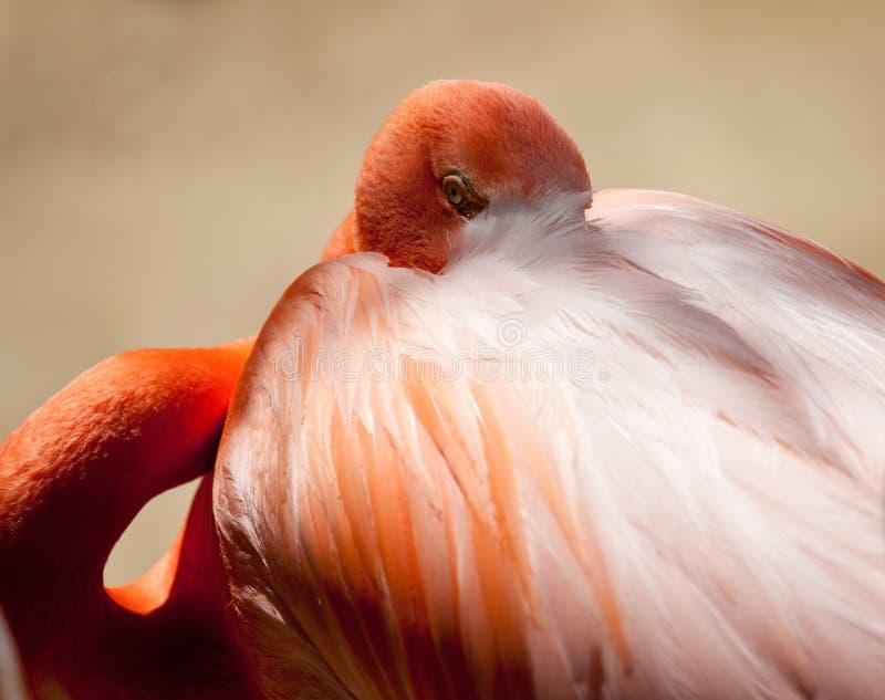 Download Pink Flamingo Staring Stock Image - Image: 14568361