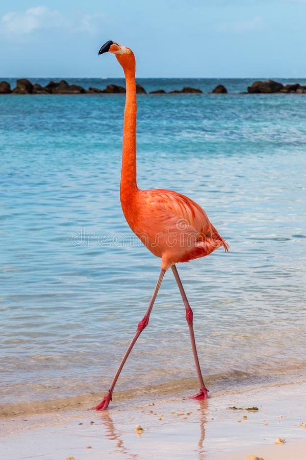 Pink Flamingo Strutting Down the Beach. royalty free stock image