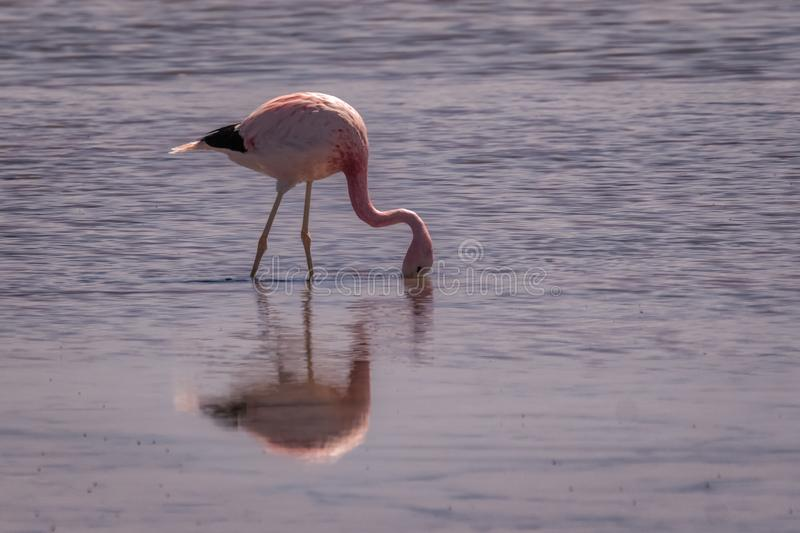 Pink flamingo wading in shallow water feeding stock photography