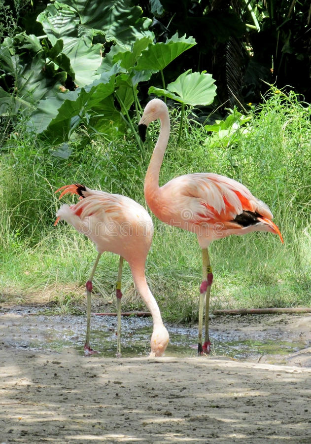 Pink flamingo in a zoo. Many birds pink flamingo standing on the shore of lake on sand stock photography