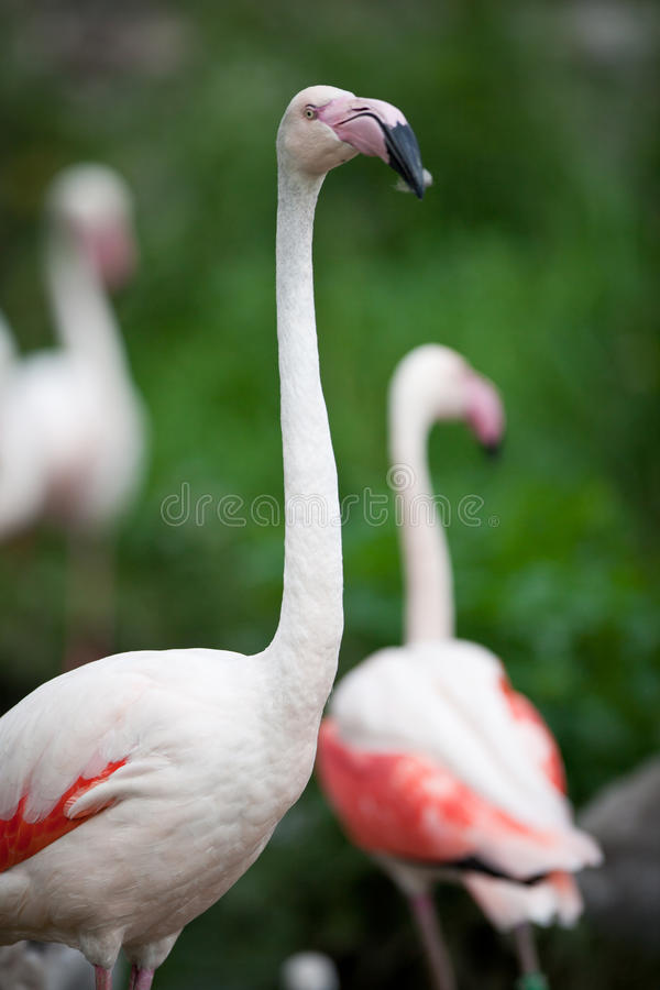 Download Pink Flamingos stock image. Image of african, head, feather - 16776771