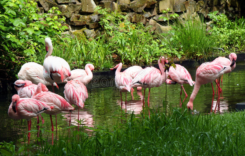 Pink Flamingos. Great plumage royalty free stock image