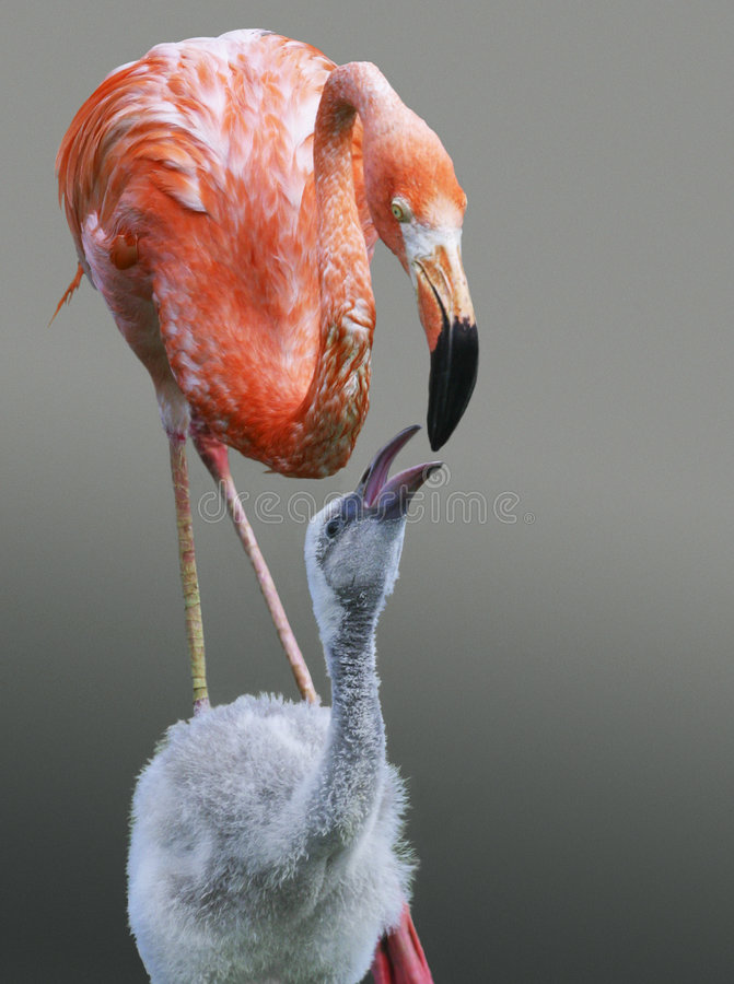 Pink flamingos. Mother-flamingo feeds the kid-flamingo. Illustration for magazine about birds and animals royalty free stock image