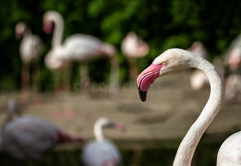 Pink flamingos against green background. royalty free stock image