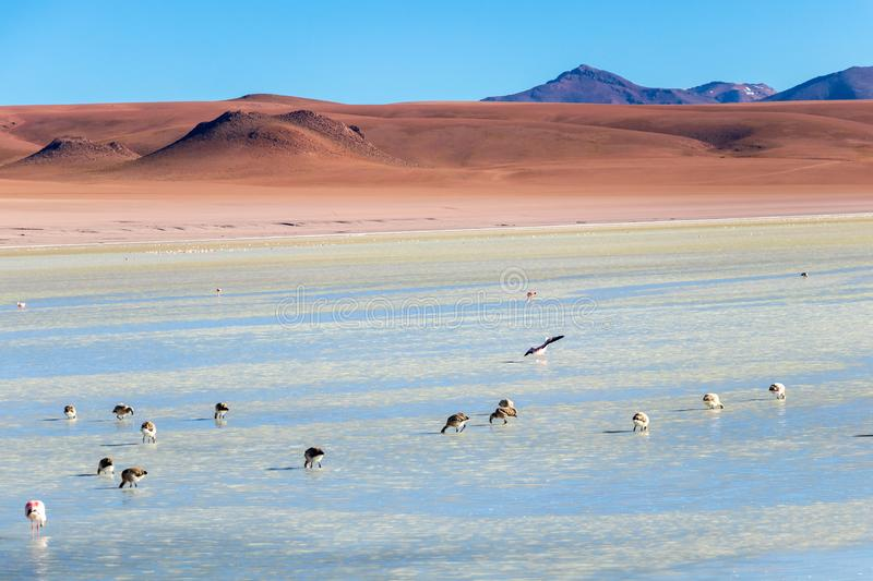 Altiplanic Laguna, Salty Lake, with flamingos, among the most important travel destination in Bolivia. Pink flamingos in Altiplanic Lagoon in the high plains of stock images