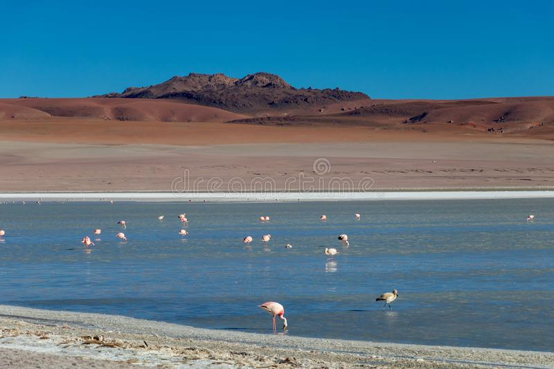 Altiplanic Laguna, Salty Lake, with flamingos, among the most important travel destination in Bolivia. Pink flamingos in Altiplanic Lagoon in the high plains of stock photo