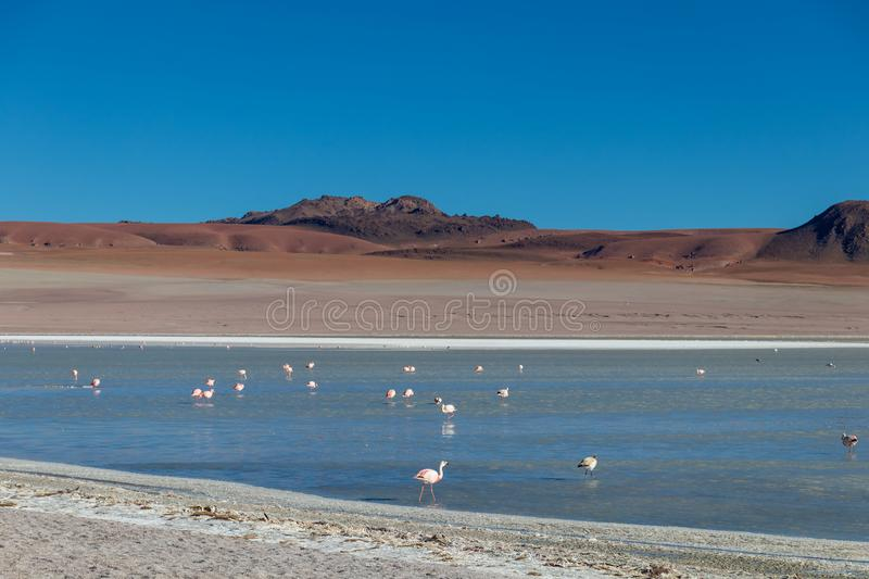 Altiplanic Laguna, Salty Lake, with flamingos, among the most important travel destination in Bolivia. Pink flamingos in Altiplanic Lagoon in the high plains of stock photos