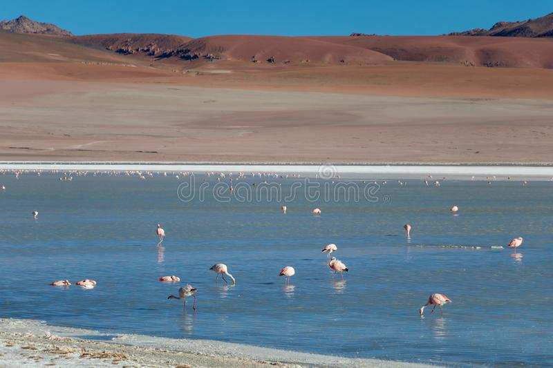 Altiplanic Laguna, Salty Lake, with flamingos, among the most important travel destination in Bolivia. Pink flamingos in Altiplanic Lagoon in the high plains of royalty free stock images