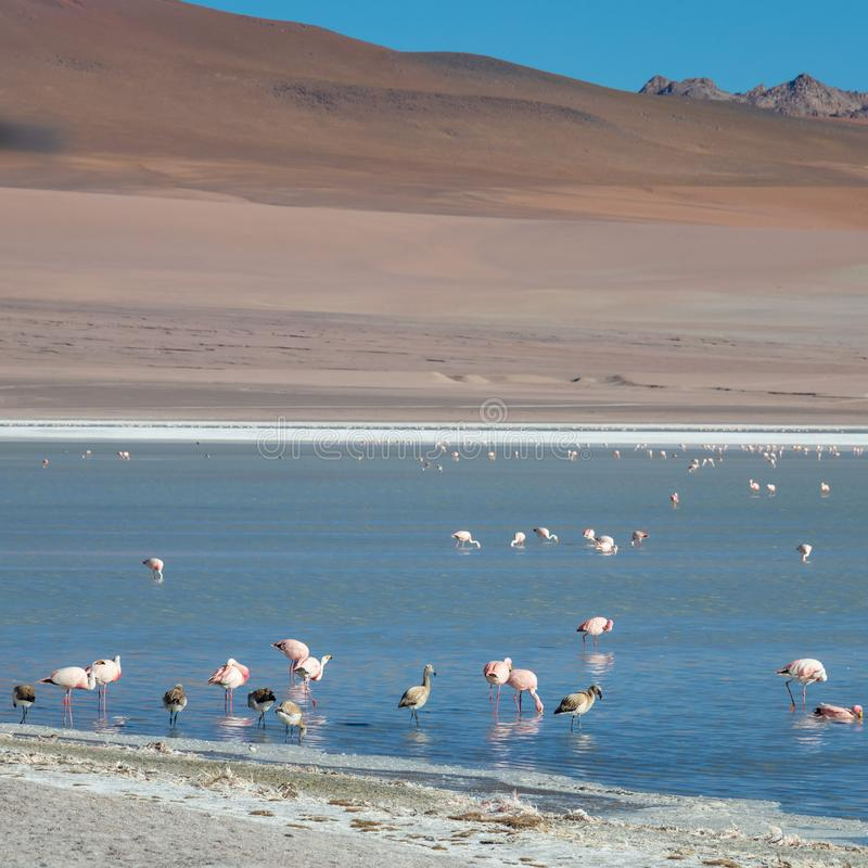 Altiplanic Laguna, Salty Lake, with flamingos, among the most important travel destination in Bolivia. Pink flamingos in Altiplanic Lagoon in the high plains of royalty free stock photo
