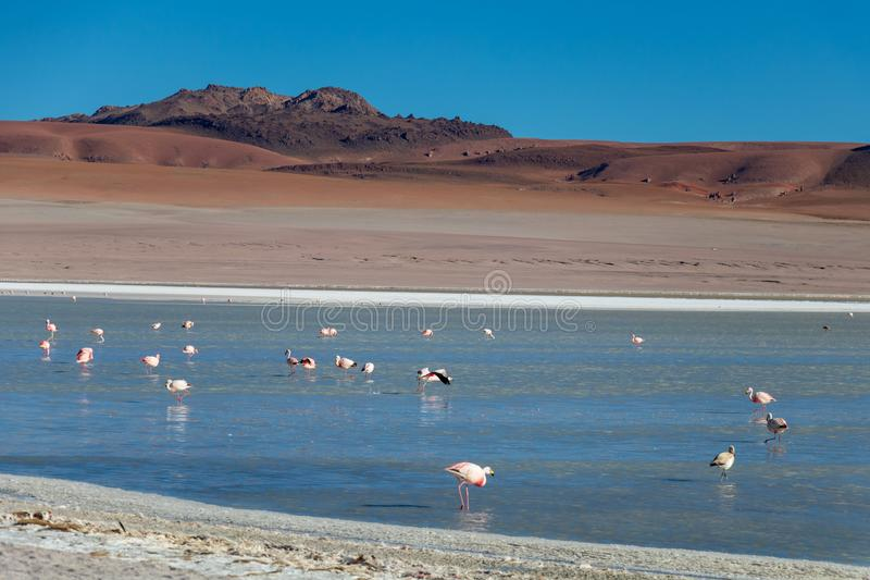 Altiplanic Laguna, Salty Lake, with flamingos, among the most important travel destination in Bolivia. Pink flamingos in Altiplanic Lagoon in the high plains of stock image
