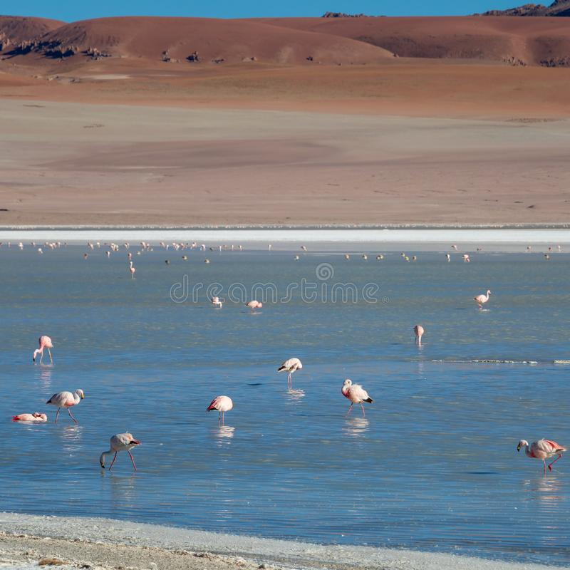 Altiplanic Laguna, Salty Lake, with flamingos, among the most important travel destination in Bolivia. Pink flamingos in Altiplanic Lagoon in the high plains of royalty free stock photography