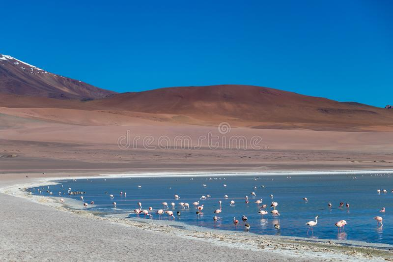 Altiplanic Laguna, Salty Lake, with flamingos, among the most important travel destination in Bolivia. Pink flamingos in Altiplanic Lagoon in the high plains of royalty free stock image