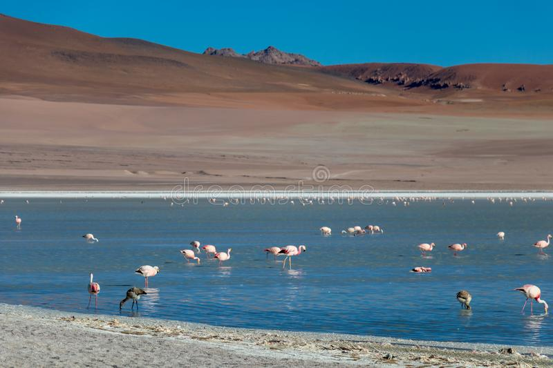 Altiplanic Laguna, Salty Lake, with flamingos, among the most important travel destination in Bolivia stock photo
