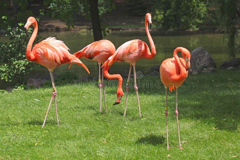 Pink Flamingos. Beautiful pink flamingos in their natural habitat at the zoo. Photo taken on July 11, 2013 stock photos