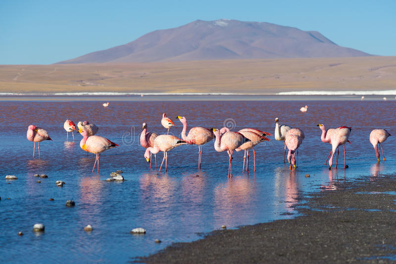 Pink flamingos at. Group of pink flamingos in the colorful water of Laguna Colorada (Multicolored Salty Lake), among the most important travel destination in stock photography