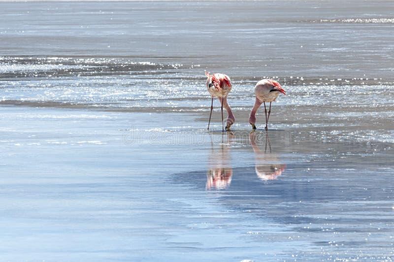 Pink Flamingos at Laguna Honda in English `Deep Lagoon` in sud Lipez Altiplano reserva Eduardo Avaroa - Bolivia. Is a salt lake located at 4,114 metres over royalty free stock photos