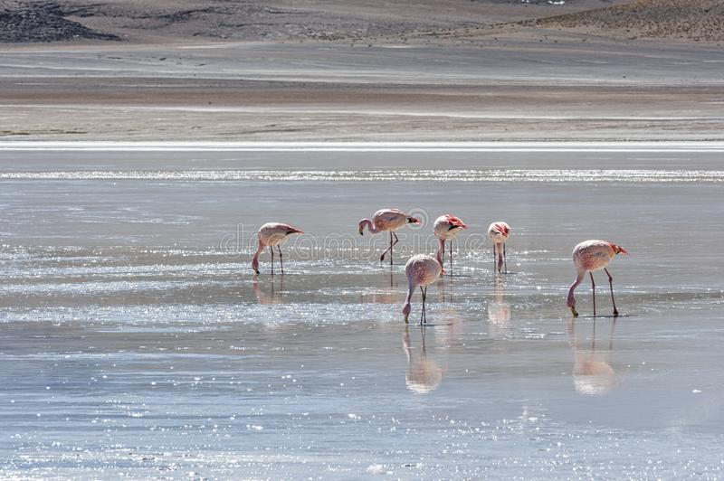 Download Pink Flamingos At Laguna Honda In English Deep Lagoon Sud Lipez Altiplano