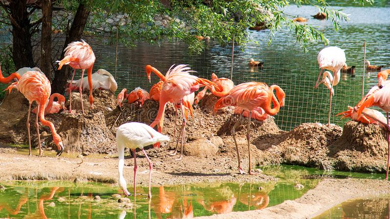 Pink flamingos in the Moscow Zoo. Russia.n royalty free stock photography