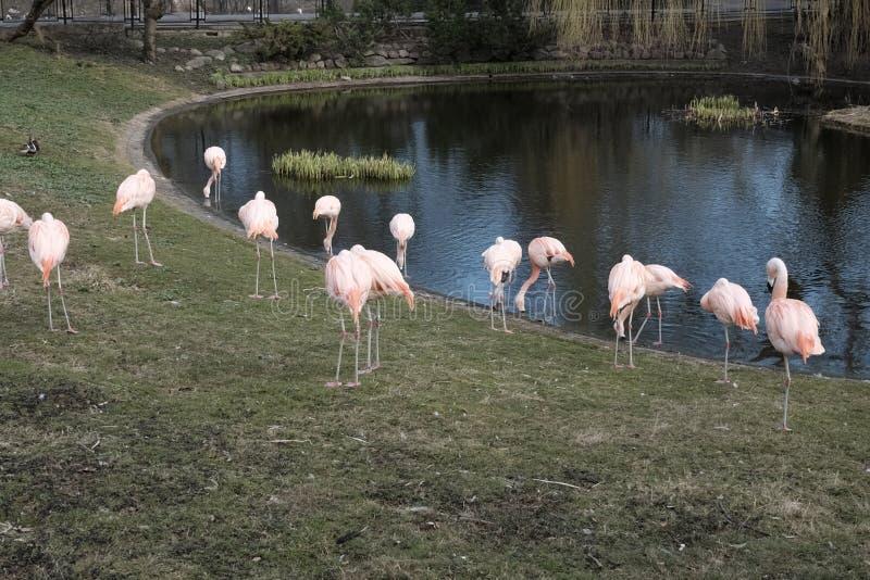 Pink flamingos the pond stock photo