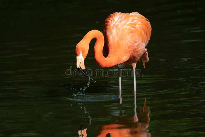 Pink flamingos in a pond royalty free stock photos