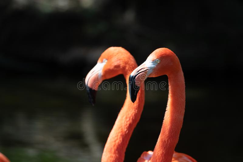 Pink flamingos in a pond stock images