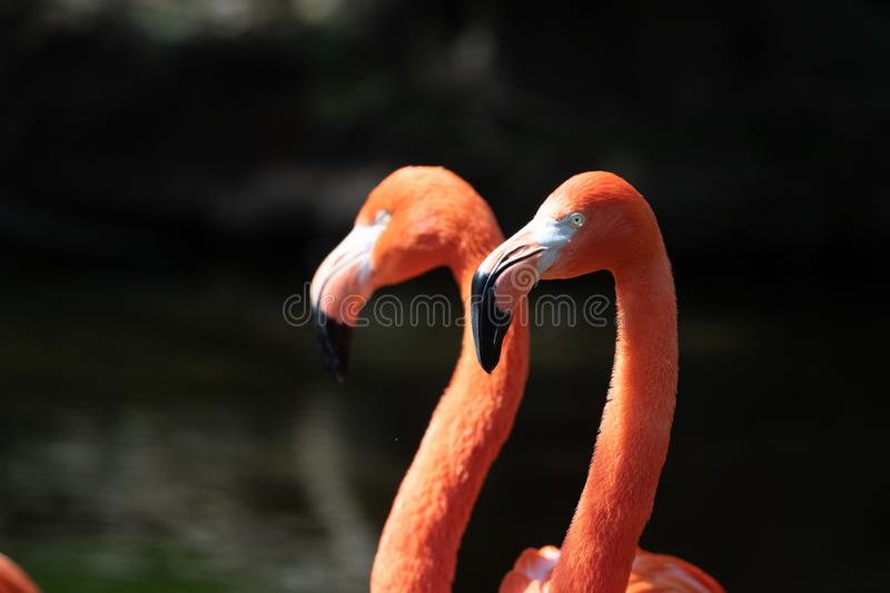 Pink flamingos in a pond royalty free stock photography