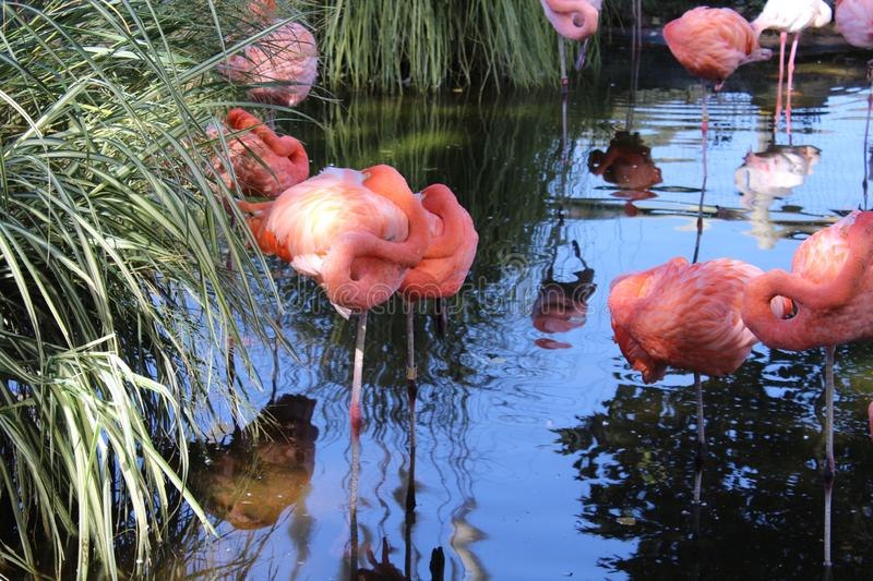 Pink Flamingos pond stock photography