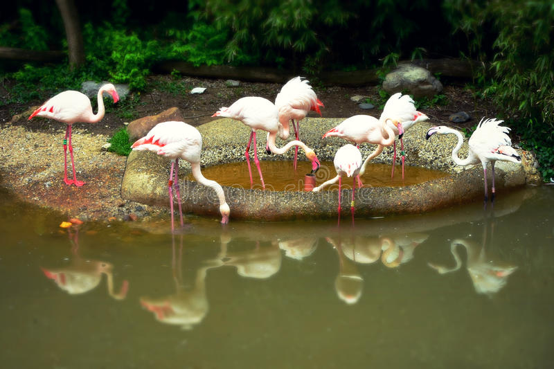 Pink Flamingos with Reflection. Some pink flamingos on a rock by the water with their reflections in the water at the Cincinnati Zoo in Ohio stock photos