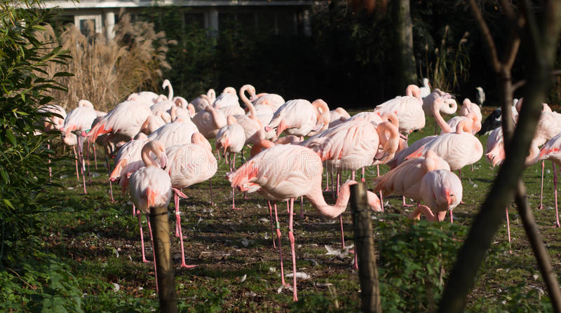 Pink flamingos at Rotterdam Zoo. In Netherlands royalty free stock photo