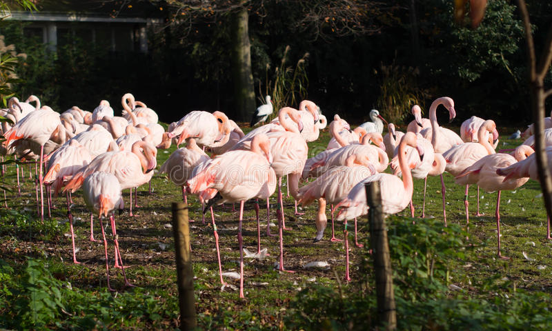 Pink flamingos at Rotterdam Zoo. In Netherlands royalty free stock photography