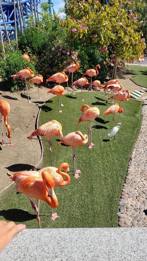 Pink flamingos standing around stock images